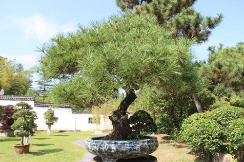 Le jardin de bonzaïs à Suzhou