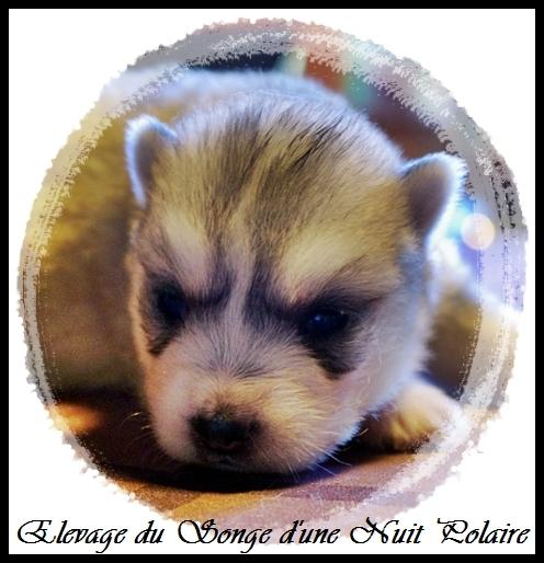 Chiot Husky Femelle 1 (14j)