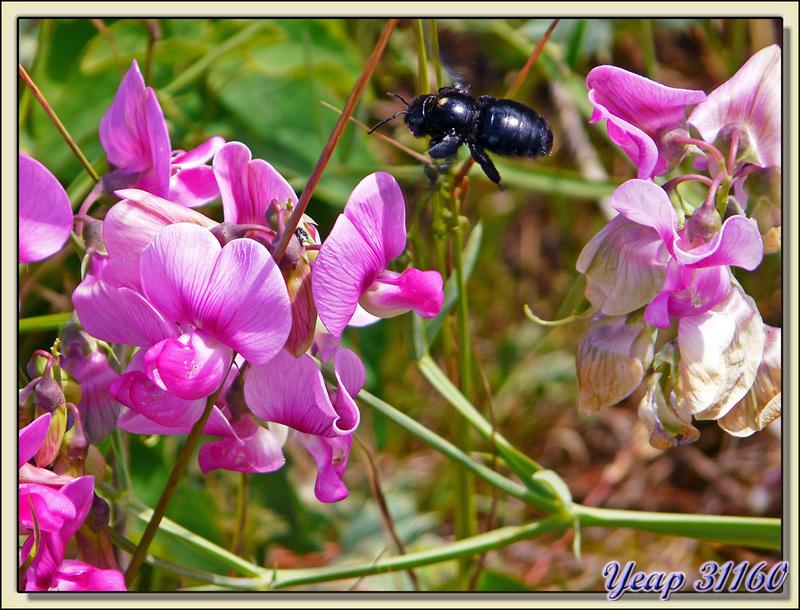 L'abeille charpentière et les pois de senteur sauvages - La Couarde sur Mer - Ile de Ré - 17