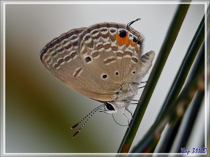 Papillon Cycad bleu, Azuré des sagous, Cupidon des plaines, Plains cupid (Chilades pandava) - Nosy Sakatia - Madagascar