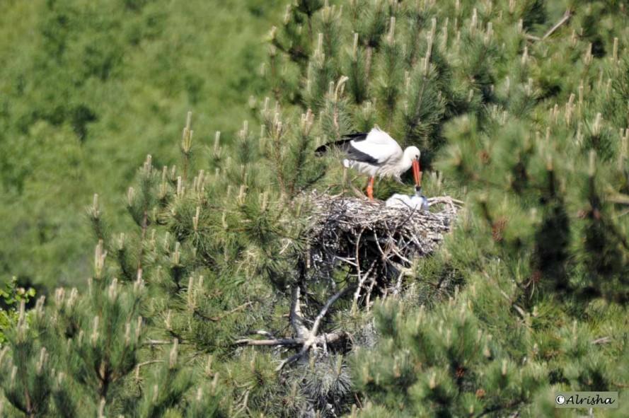 DSC8387 al cigogne au nid