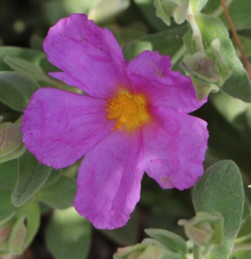 Une fleur de ciste