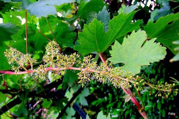 J07 - Fleur de la vigne