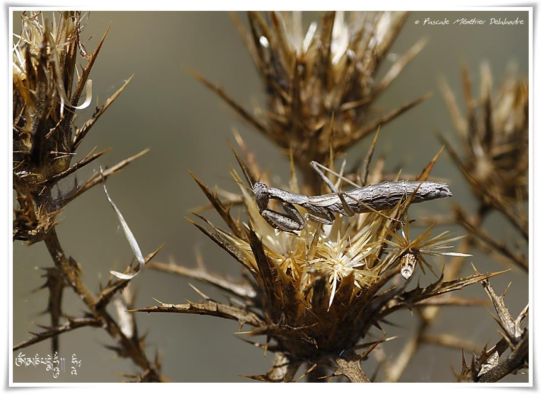 Mante testacée - Ameles decolor