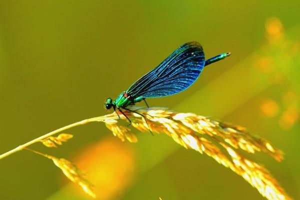 La libellule si fragile