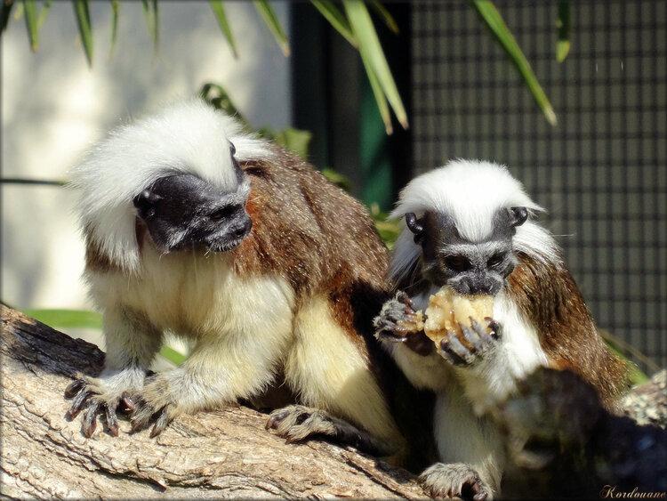 Photo de tamarin pinche (Zoo du bassin d'Arcachon)