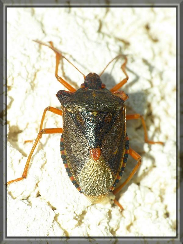 Punaise à pattes rouges - Pentatoma rufipes