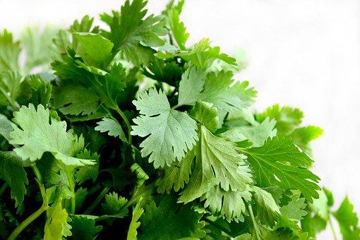 Coriandre, Herbes, Alimentaire, Vert