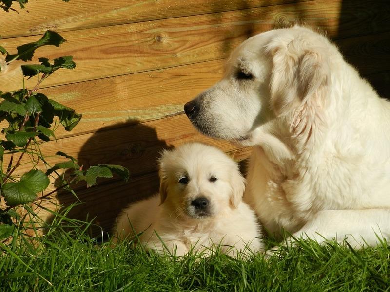 Maman Golden et ses bébés!! page 2