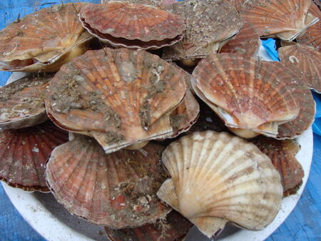 Copie_de_Coquilles_st_Jacques