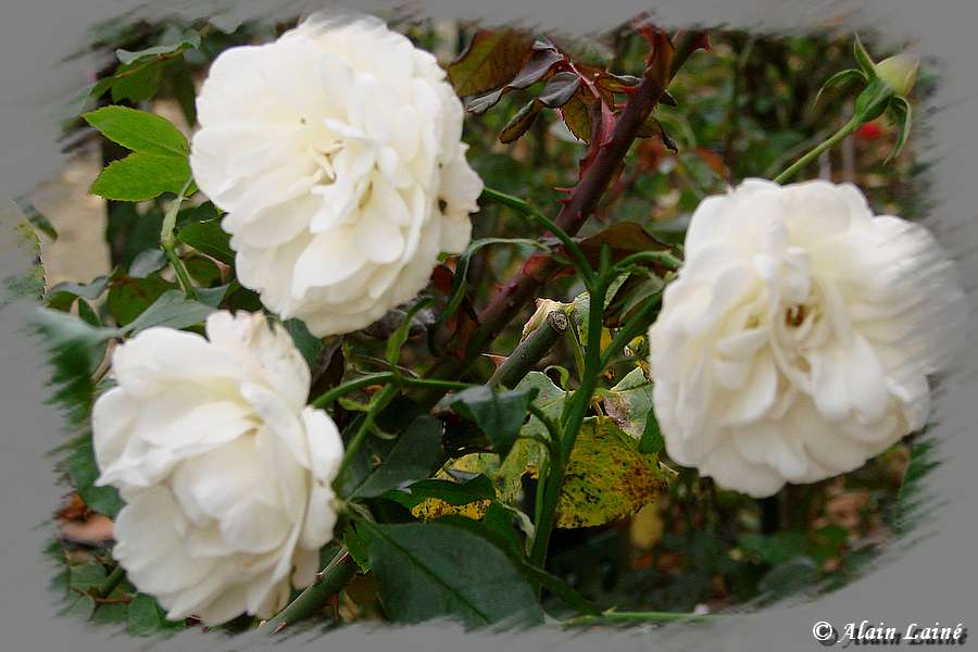 Fleurs du dimanche