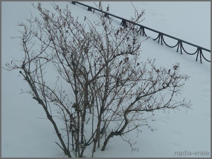 Le petit Weigela ou weigelia habillé de neige ou pas. (Instant T)