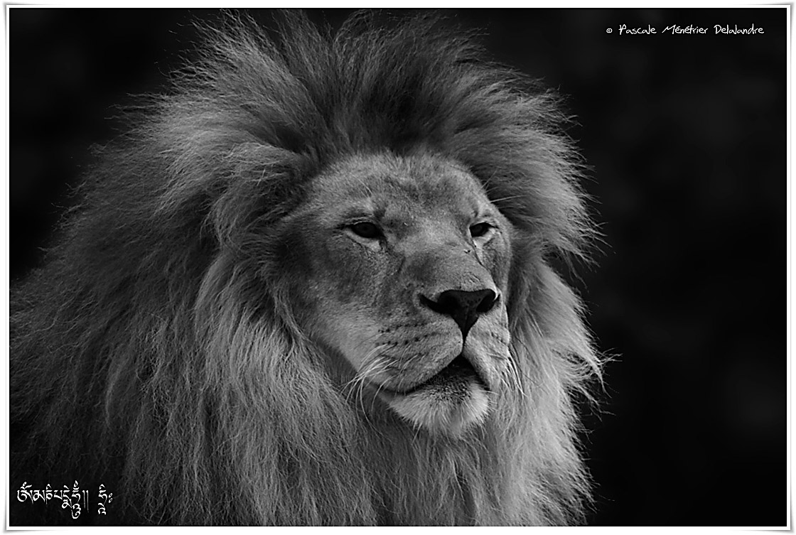 Lion - Panthera léo