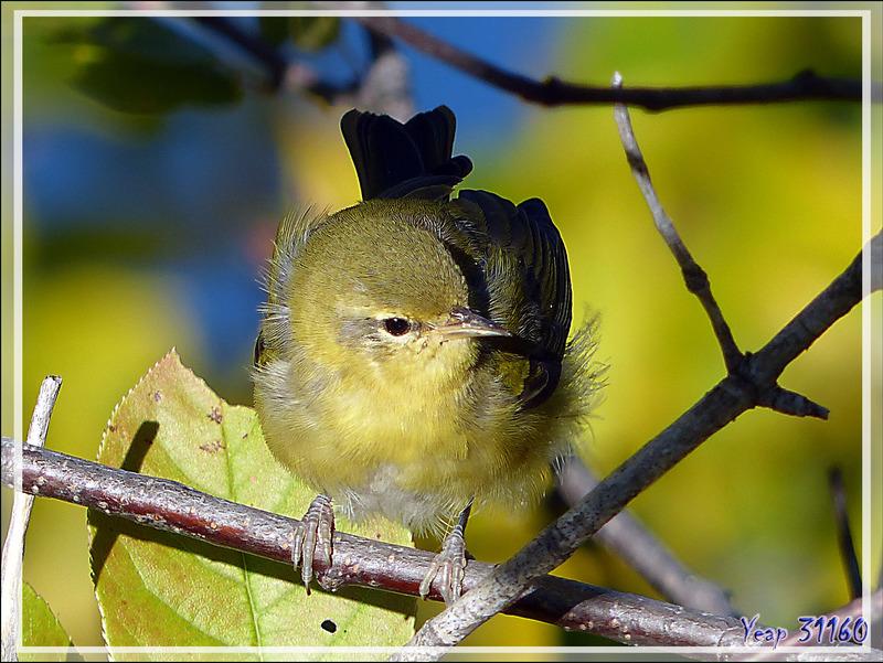 Oiseau inconnu (Paruline ?) - Baie-Saint-Paul - Charlevoix - Québec - Canada