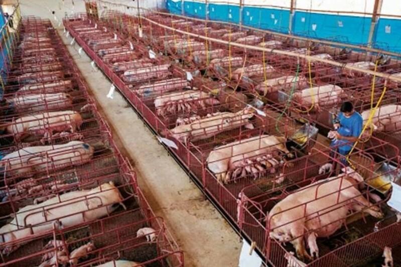Les éleveurs en alerte face au risque de peste porcine