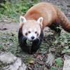 Ying, Panda Roux