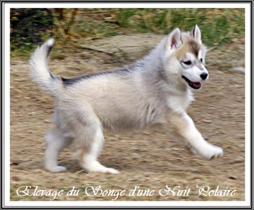 Chiot Husky Femelle 2 (43j)