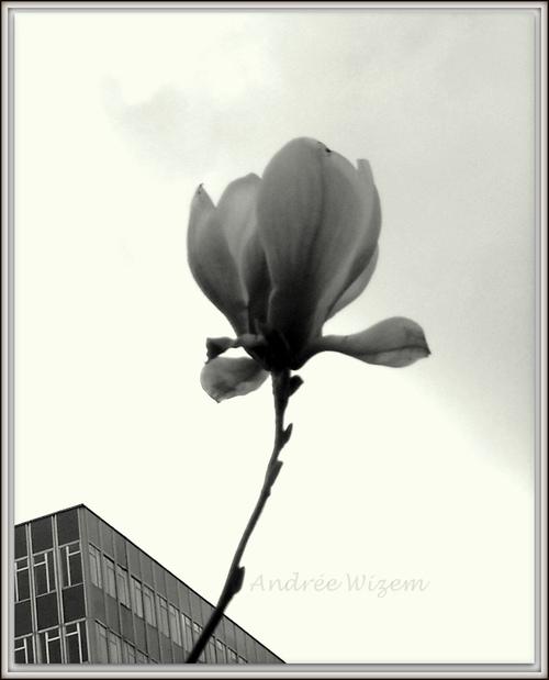 Image 40...Magnolia...