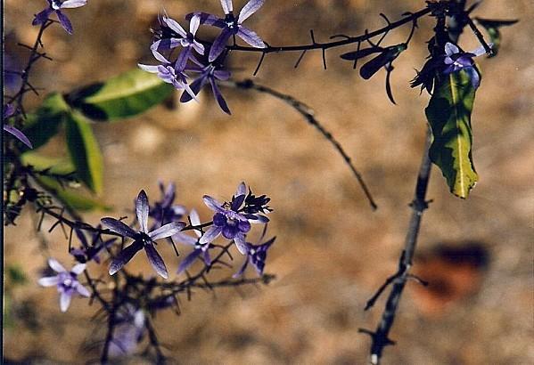 800px-Jacaranda flowers, Bulawayo