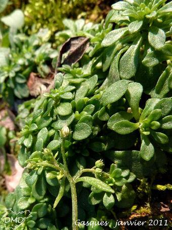 Sedum cepaea  -  orpin pourpier