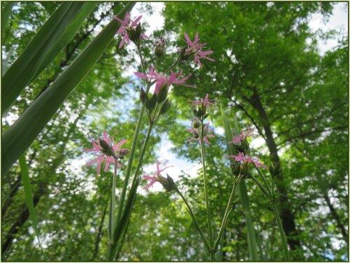 Petites fleurs étoilées roses....