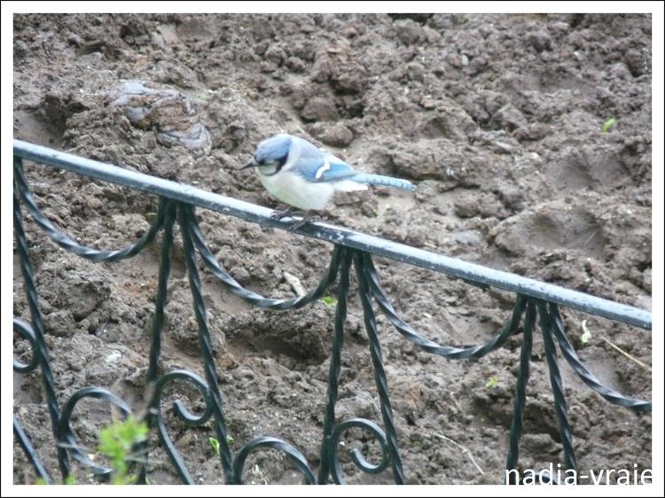Le geai bleu près de la maison. (2)