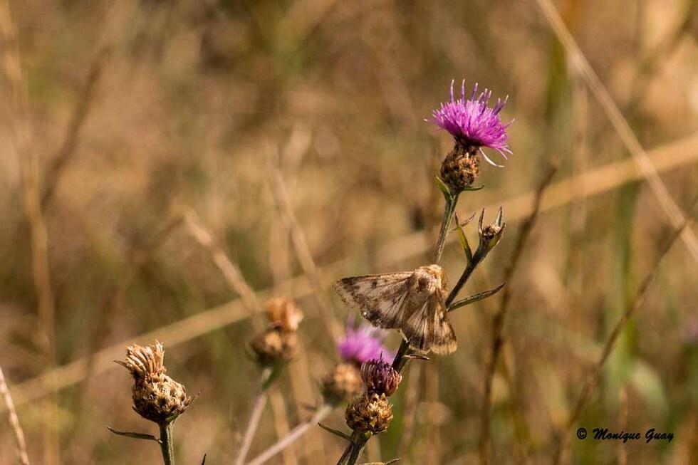 Papillon à déterminer