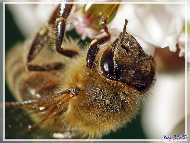 Butineuse : Abeille européenne, Avette ou Mouche à miel (Apis mellifera) - Lartigau - Milhas - 31
