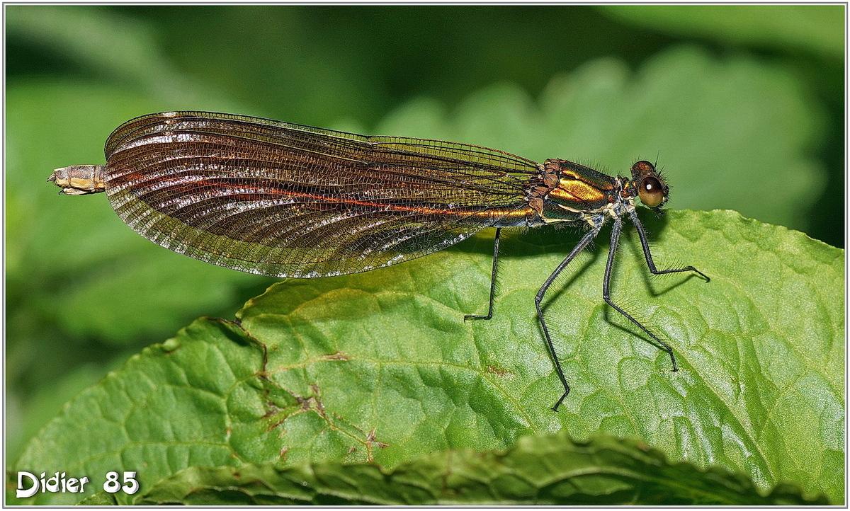 Caloptéryx Vierge (7) - Calopteryx virgo / Femelle