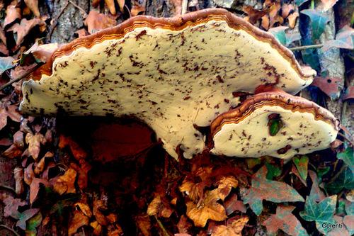 Un champignon curieux !