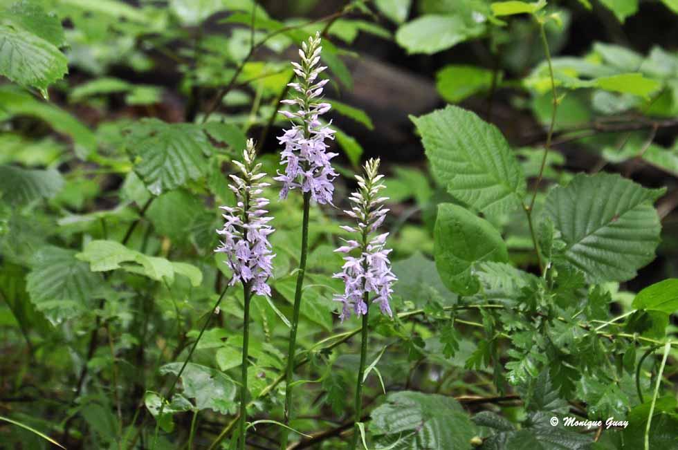 Quelques fleurs rencontrées en Haute-Savoie