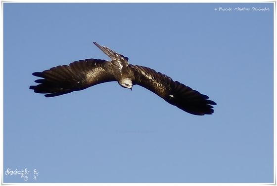 Milan noir - Milvus migrans - Black Kite