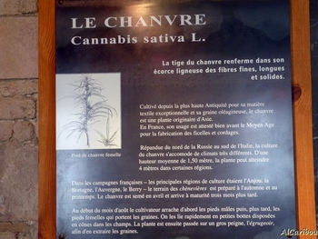 Cannabis sativa L