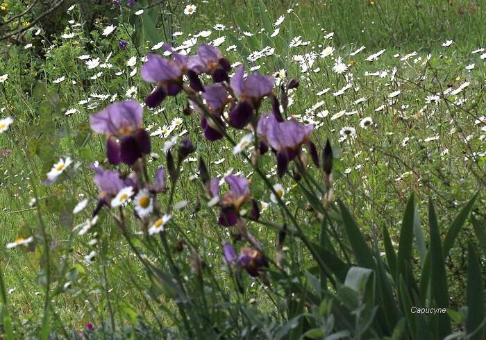 Plein feu sur les iris