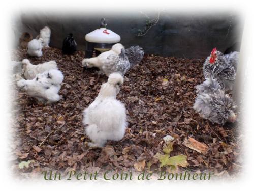 L'hiver et poulettes
