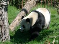 "Hao Hao ""gentille"" (femelle panda) : Pairi Daiza le 19 mai 2014"