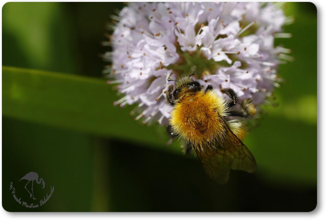 Bombus pascuorum =Thoracobombus - Bourdon des champs