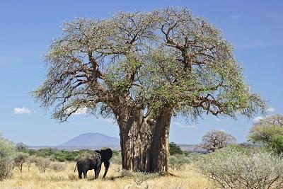 Sauver les baobabs d'Afrique ...