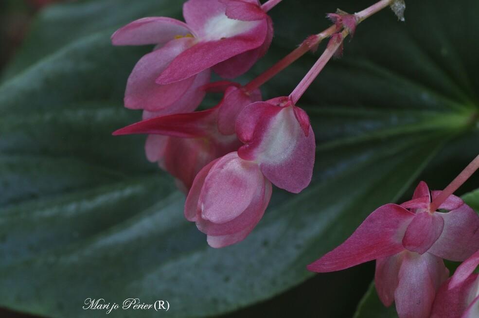 Fleurs de Bégonia