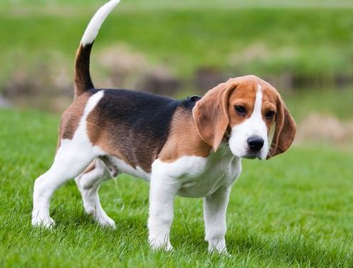 le-beagle-doux-et-polyvalent