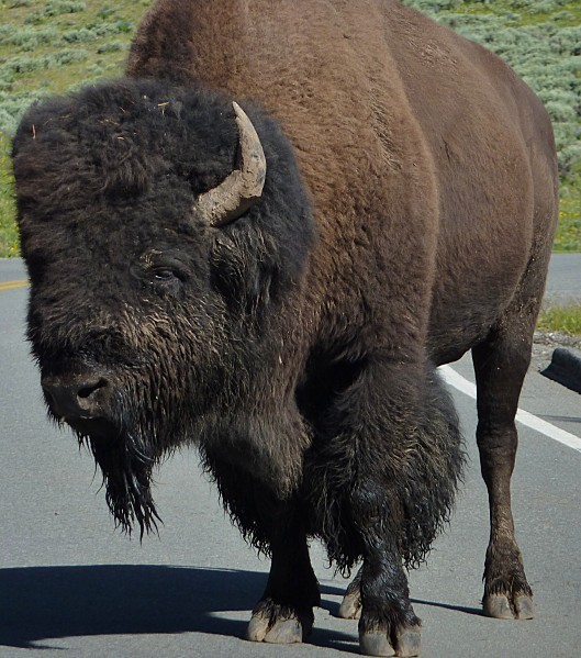 Jour 11 Yellowstone Tatanka