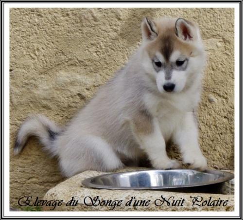 Chiot Husky Femelle 2 (45j)