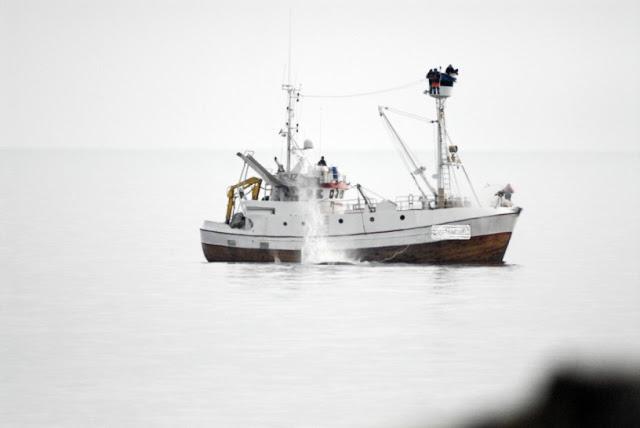 ~ La Norvège Tue Des Baleines Pour Nourrir Des Animaux Élevés Pour La Fourrure ~