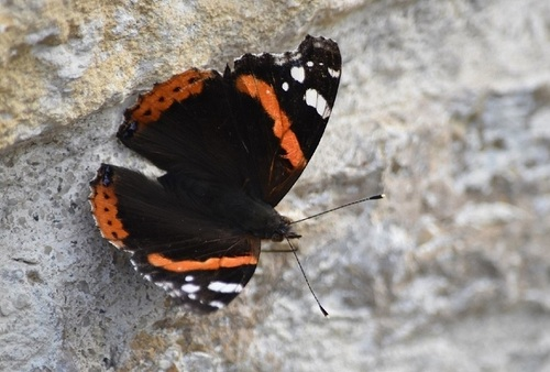 ... papillon, sans effet...