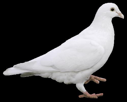 Colombes et Pigeons