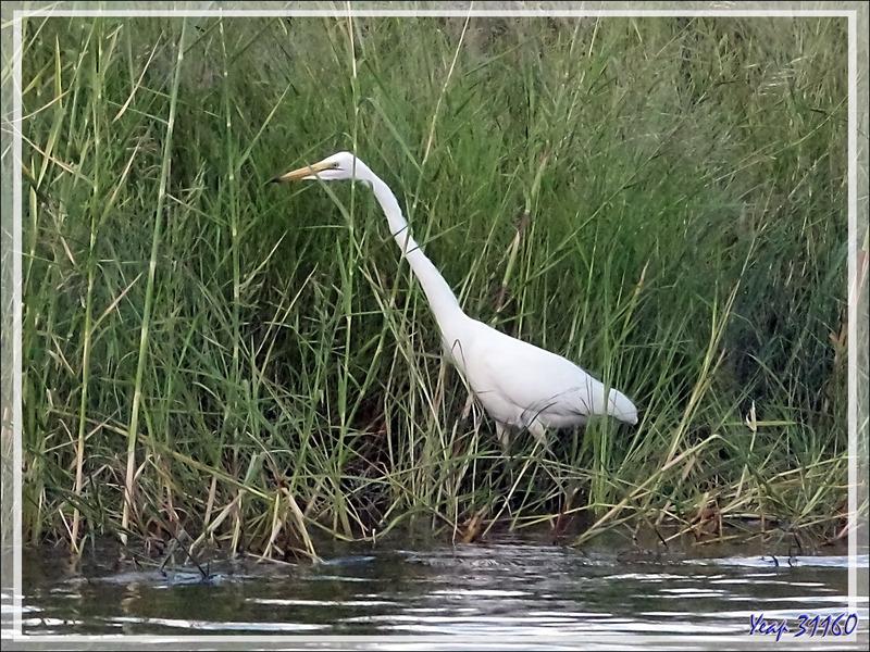 Grande Aigrette, Great Egret (Ardea alba) - Fleuve Zambèze - Zimbabwe