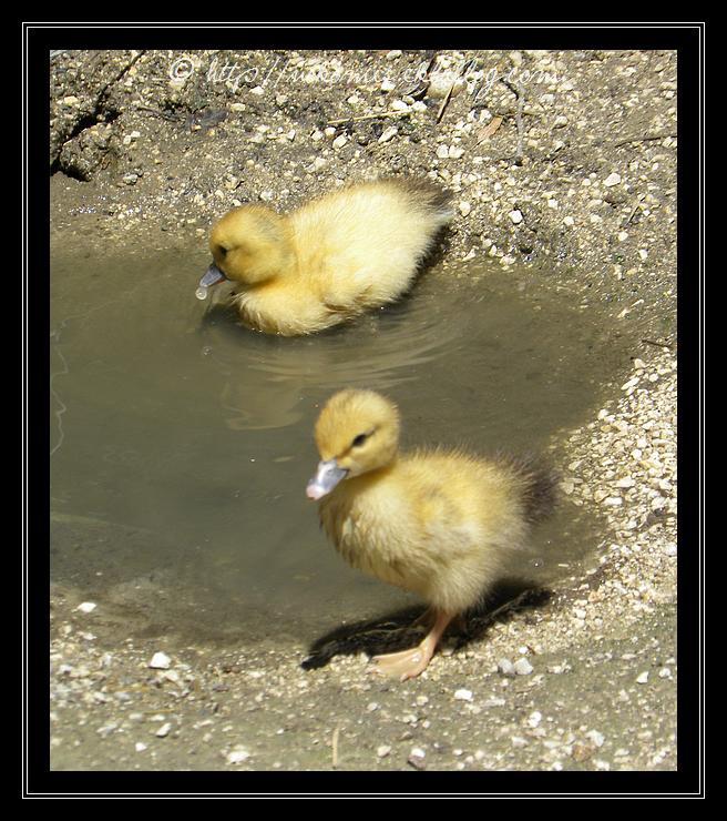 Petits canards deviendront grands...