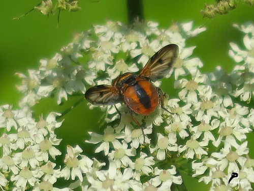 Ectophasia crassipennis mâle