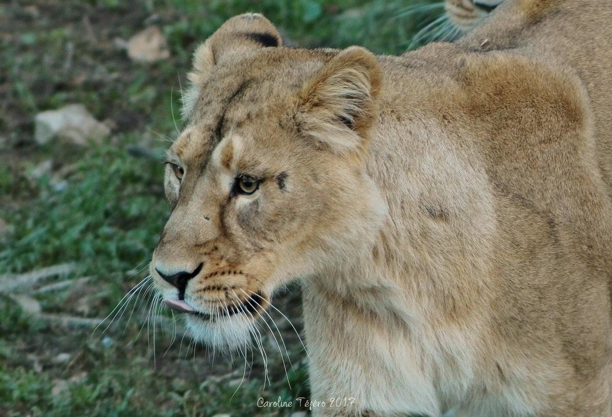 Portraits de lionnes d'Asie