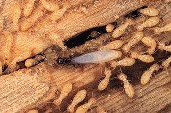 termites dans la maison